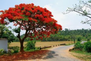 flame tree of Belize